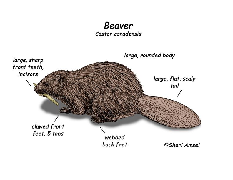 Beaver Diet Food