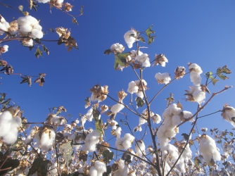cottonplants